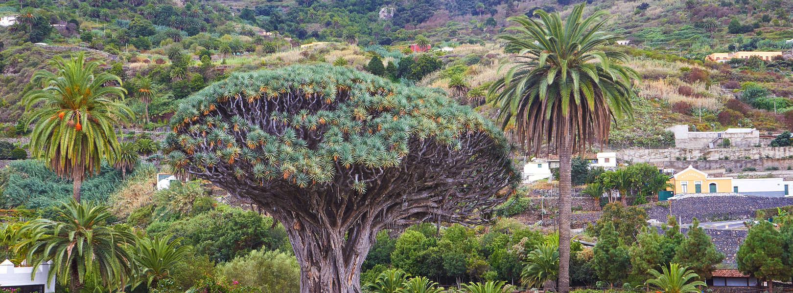 Der berühmte Drachenbaum auf Teneriffa in Icod de los Vinos