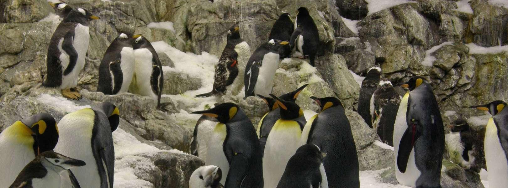Pinguine im Loro Parque auf Teneriffa in Spanien